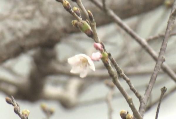 190322サクラ開花2.jpg