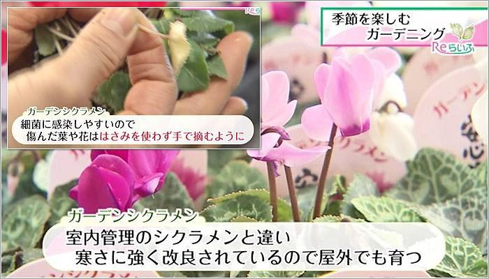 05 ガーデンシクラメン