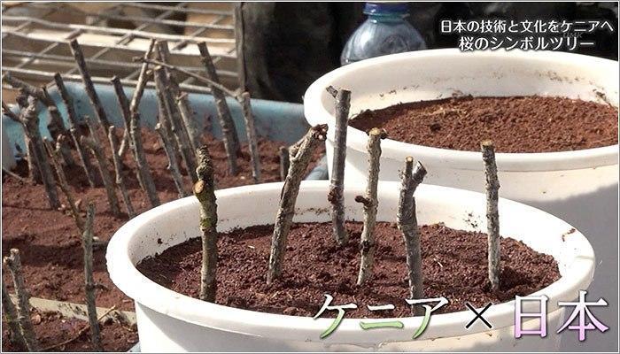 08 桜の接木や挿木の様子