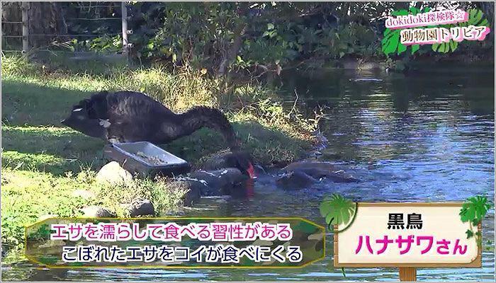 05 まるで黒鳥のハナザワさんが鯉にエサをあげているかのように見える