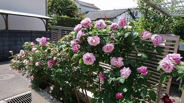 薔薇繚乱.jpg